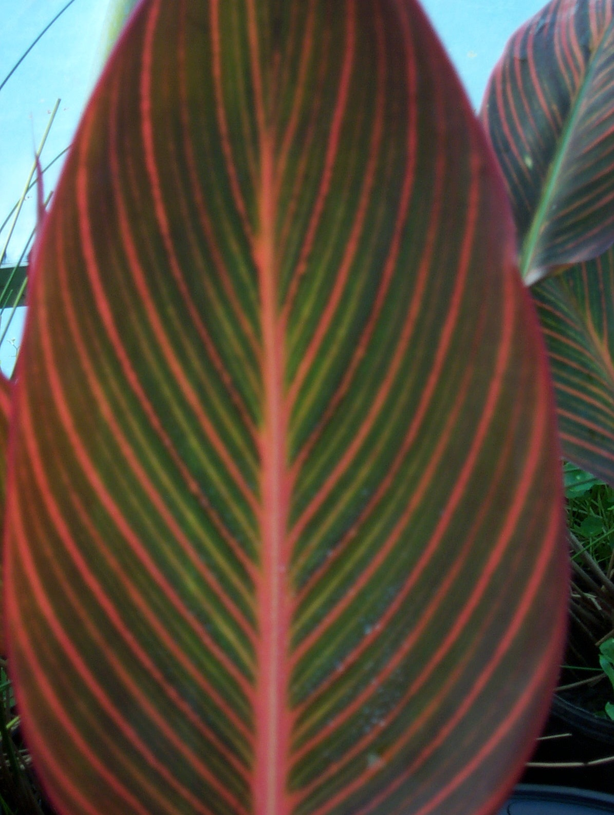 Canna African Sunset Leaves
