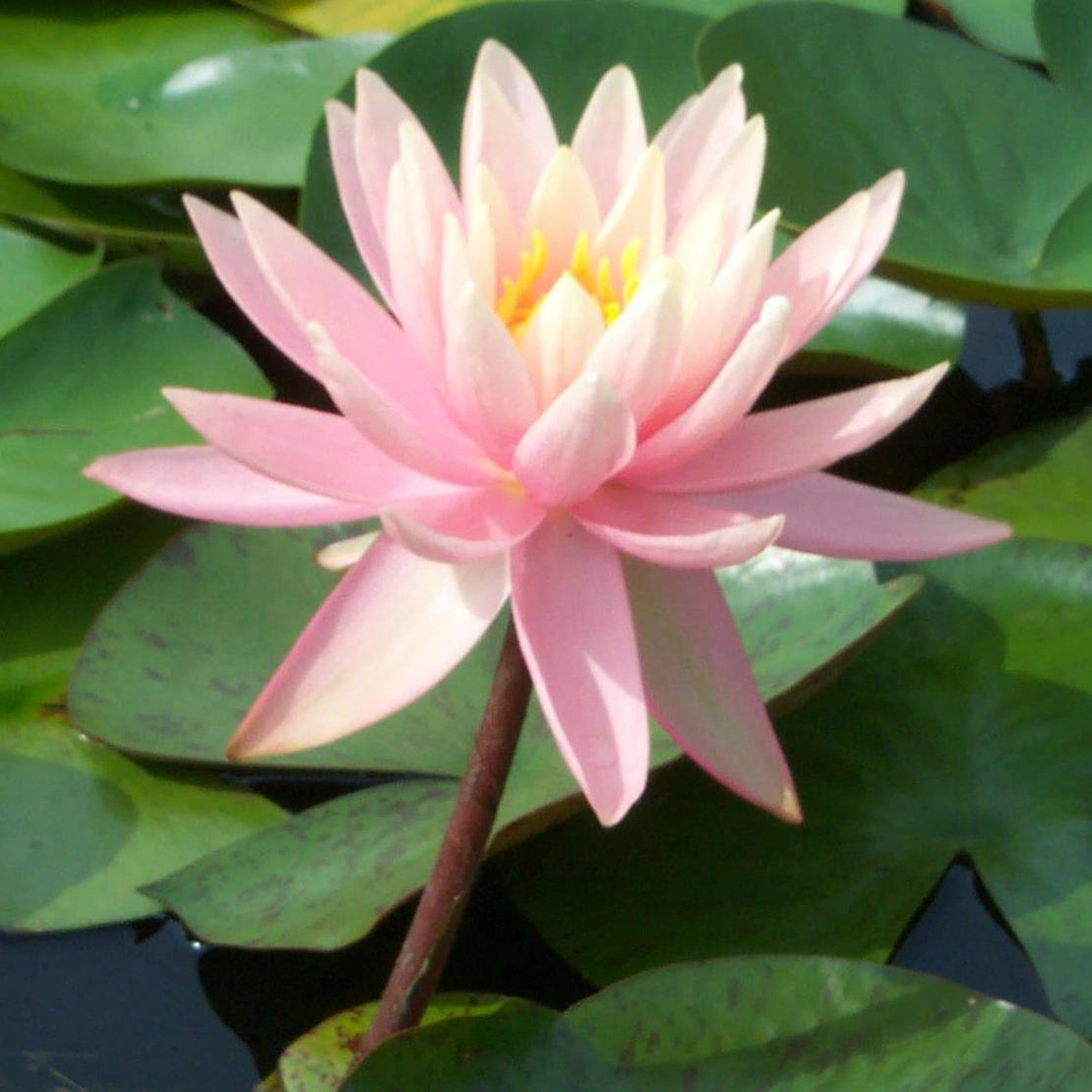 Hardy Waterlily Sunny Pink