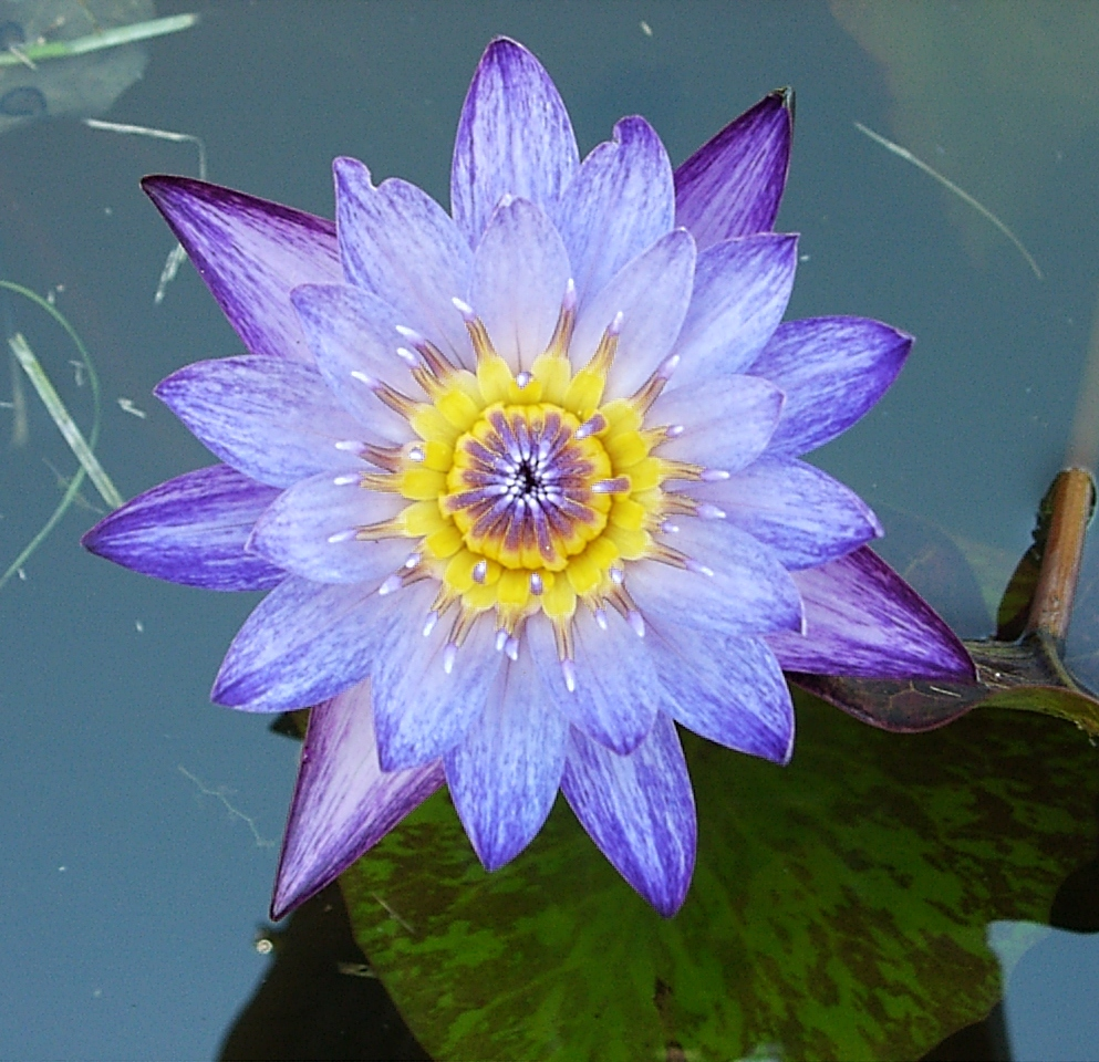 Tropical Waterlily Islamorada