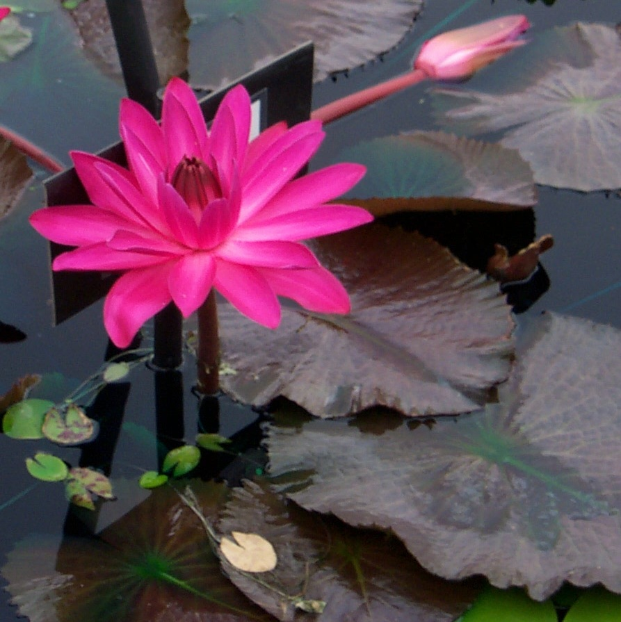 ropical Waterlily Jennifer Rebecca