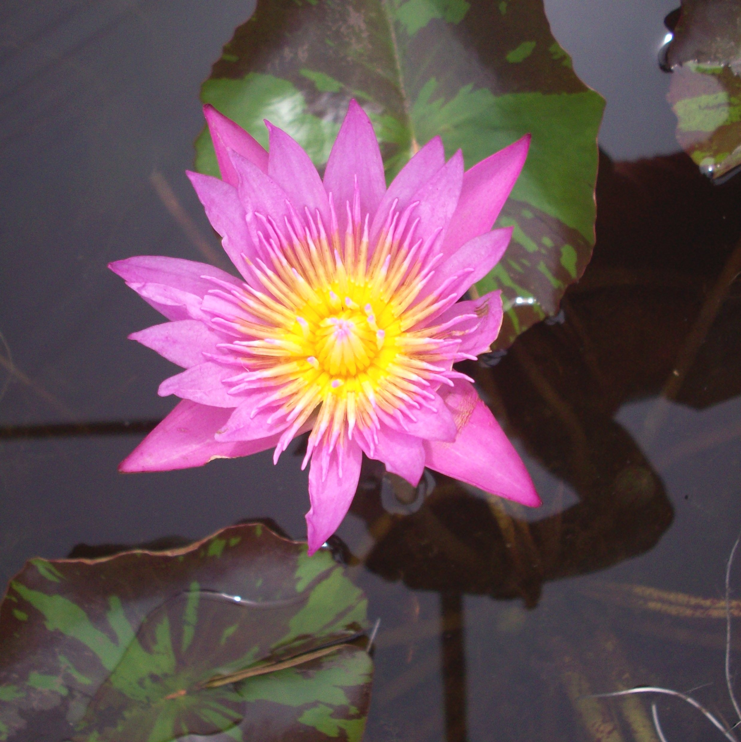 Tropical Waterlily Queen of Siam